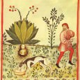 The magic of the Mandrake grew with the passage of time. Elusive in its origins, where its associations lay with the age-long mysteries of love, its potency lingers on through the medicine of the Middle Ages