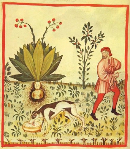 Picture of a man collecting the mandrake root with the help of a dog (Tacuinum sanitatis, manuscript, 1390)