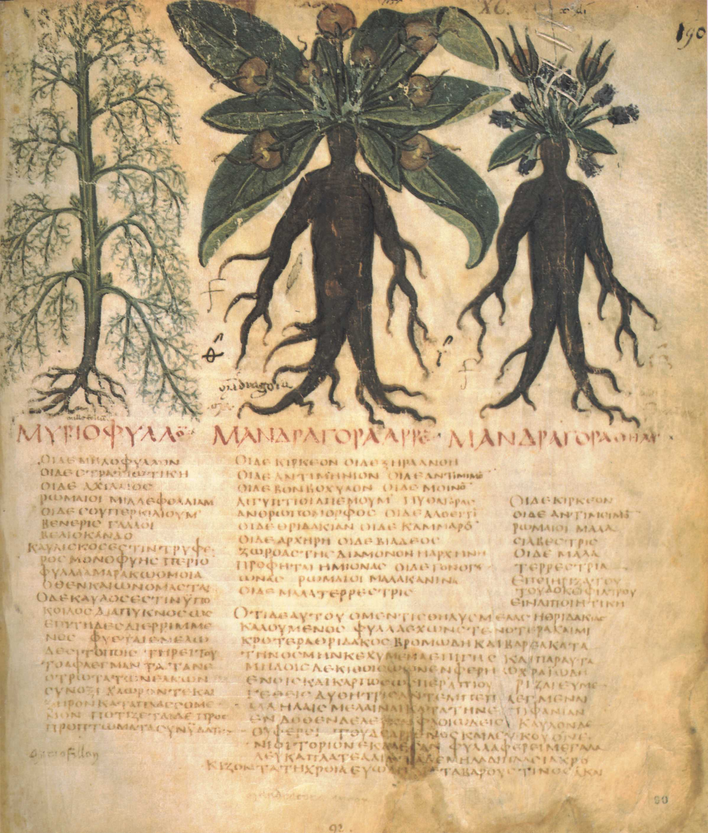 Plants used in medieval medicine