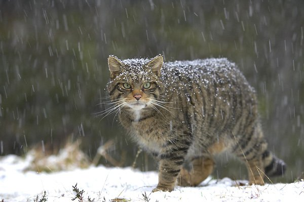 The Highland Tiger: Scotland's critically Endangered Wildcat