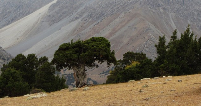 Several hundred years old juniper tree in the Tien Shan mountains of Kyrgyzstan. Photo: Andrea Seim (University of Gothenburg, Sweden)