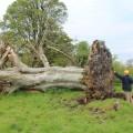 Fallen tree reveals medieval skeleton in Ireland