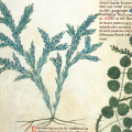 23 Medieval Uses for Rosemary