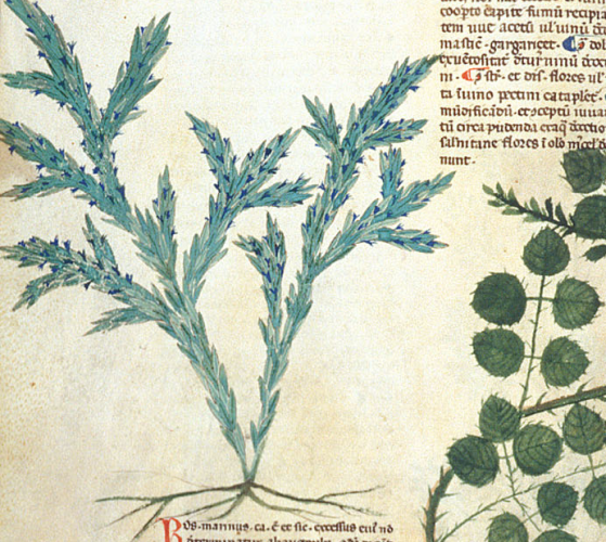 Rosemary illustrated in British Library MS Egerton 747   f. 85v
