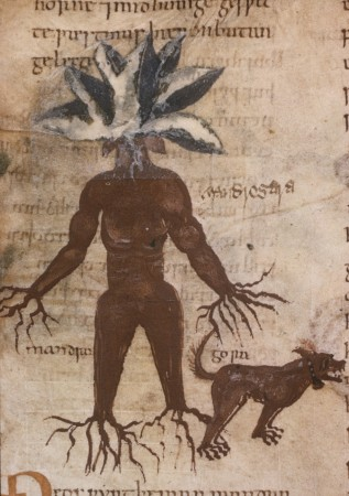 Mandrake and dog - British Library, Cotton Vitellius C. III, folio 57v