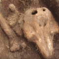 Video: Porpoise found in medieval graveyard